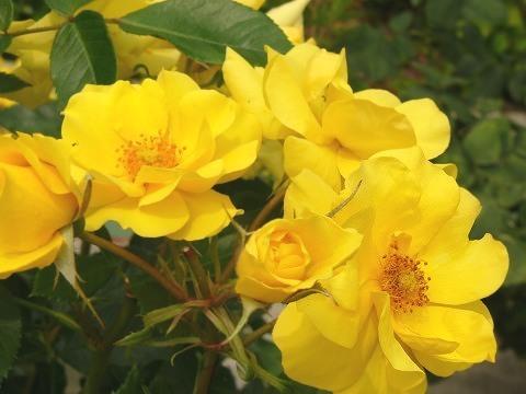 Rose08
