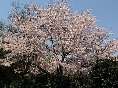 Sakura0905