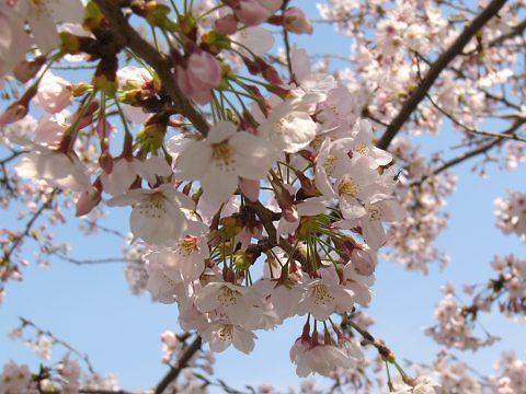 Sakura0908