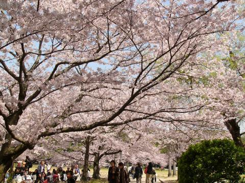 Sakura0909