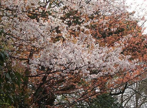 Sakura1006