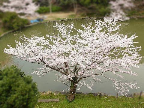 Sakura1007