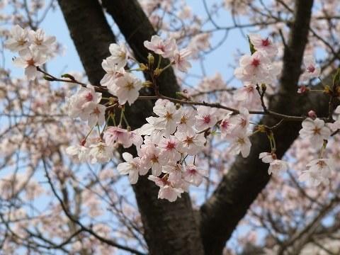 Sakura1011